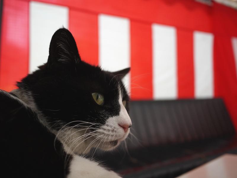 御茶会席の黒白猫01