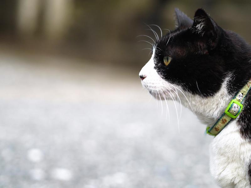 境内で真剣顔の黒白猫3