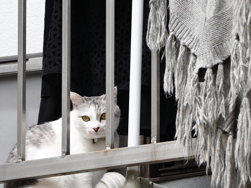 民家のベランダの白キジ猫1