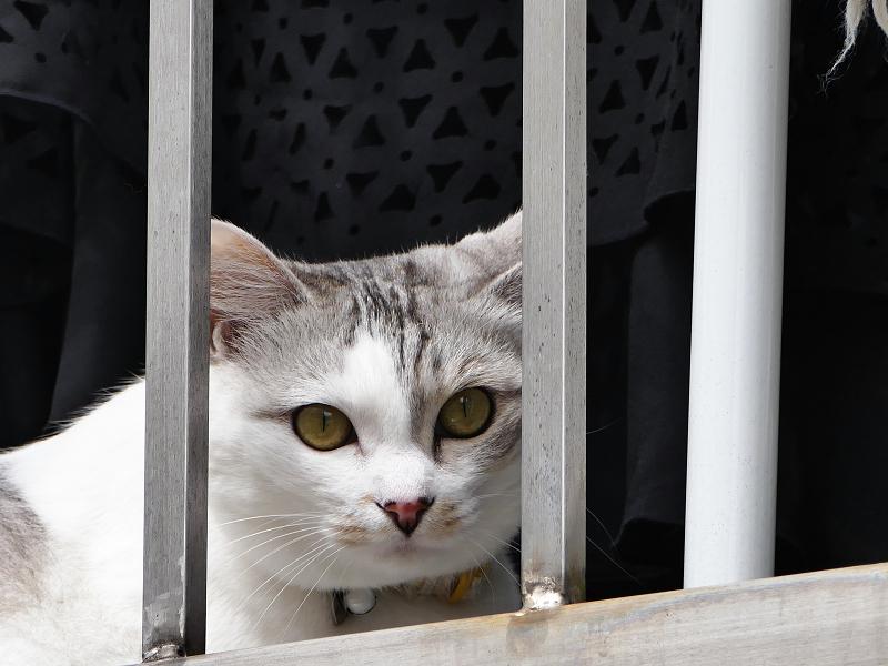 民家のベランダの白キジ猫2