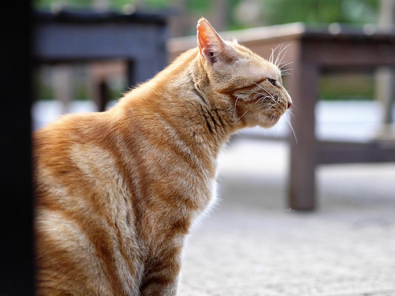 美味しいご飯を食べた後のアメショー柄の猫の横顔2