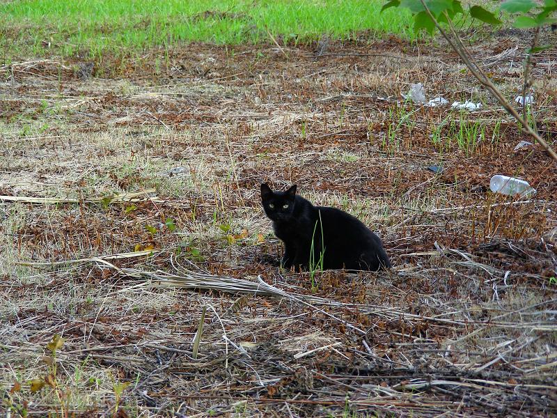 草原の黒猫1