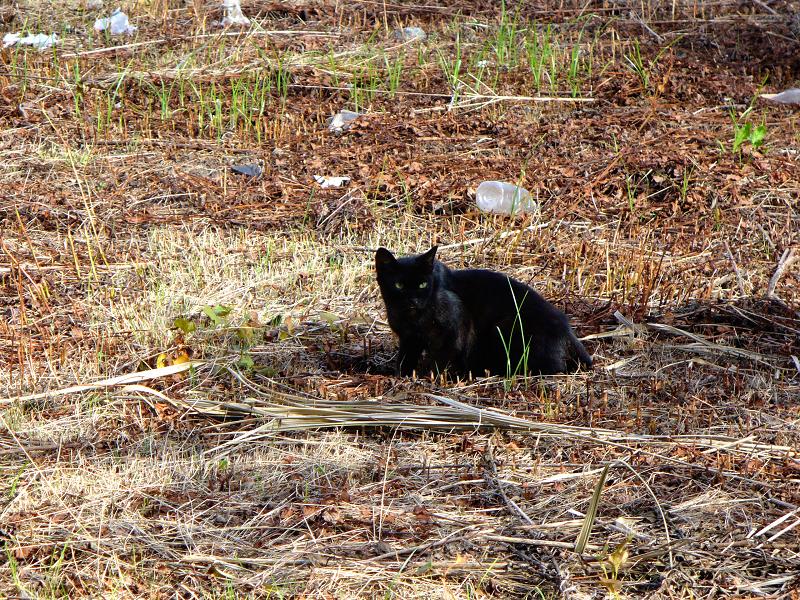 草原の黒猫2