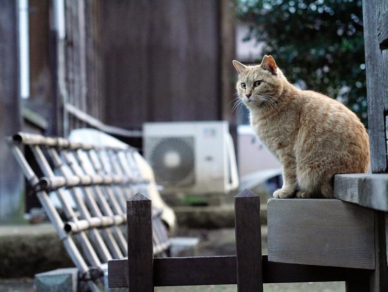縁側の外の茶猫01