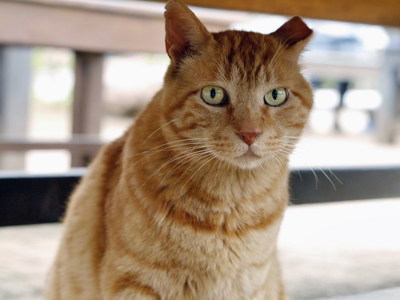 ベンチの下のアメショー風柄の猫