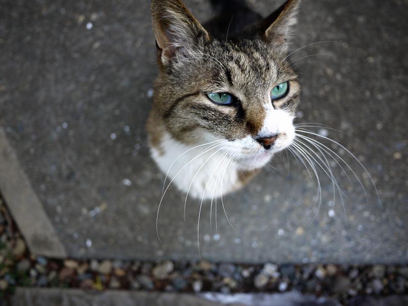 瞳が宝石の翡翠のように綺麗なキジ白猫1
