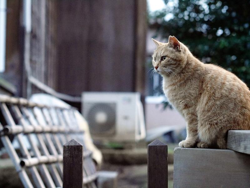 縁側の外の茶猫02