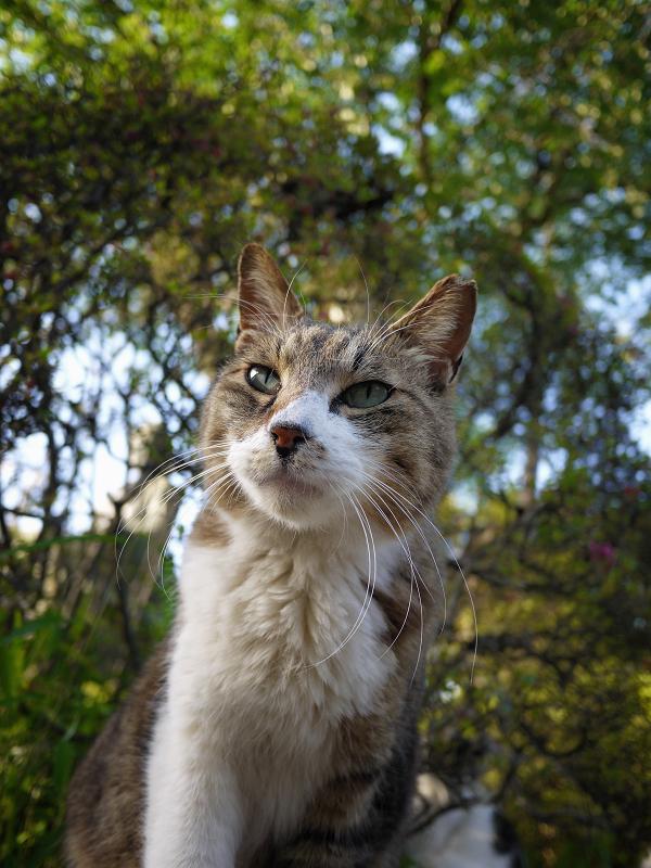 瞳が宝石の翡翠のように綺麗なキジ白猫2