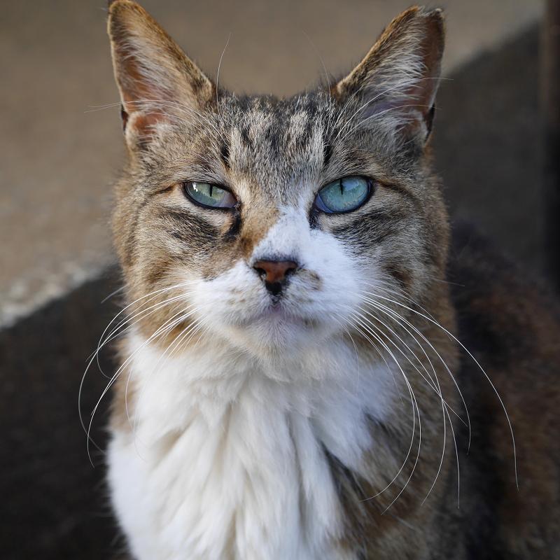 瞳が宝石の翡翠のように綺麗なキジ白猫3