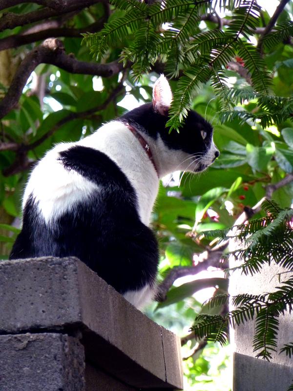 塀の上の白黒猫