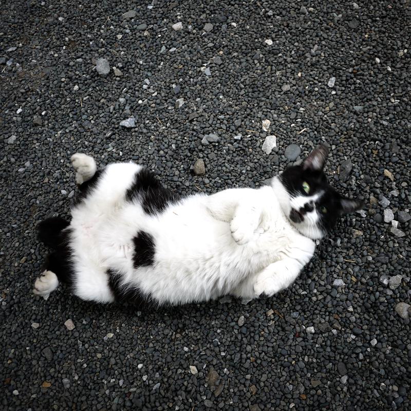 玉砂利の上で仰向けの白黒猫