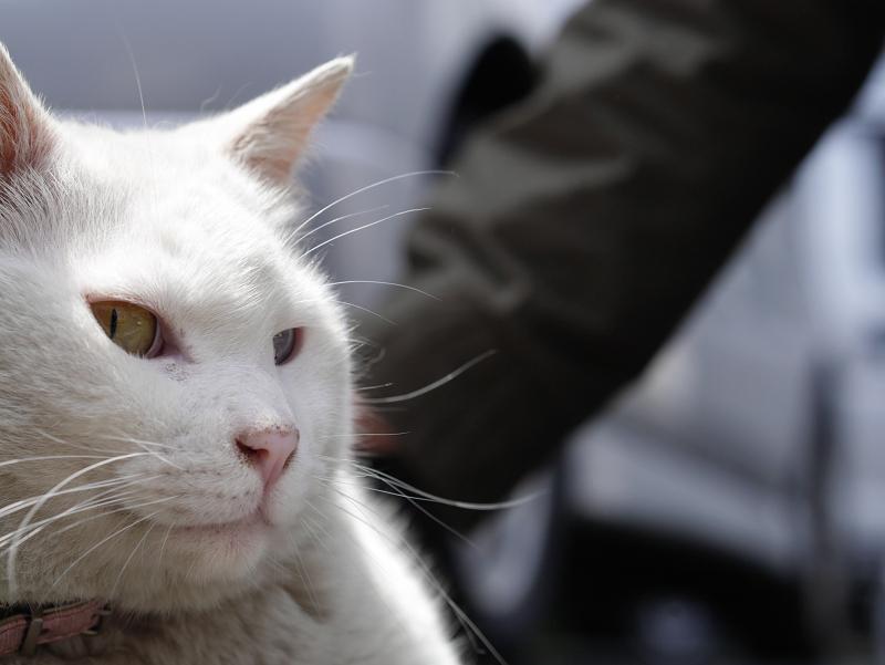 オッドアイのでかい白猫01
