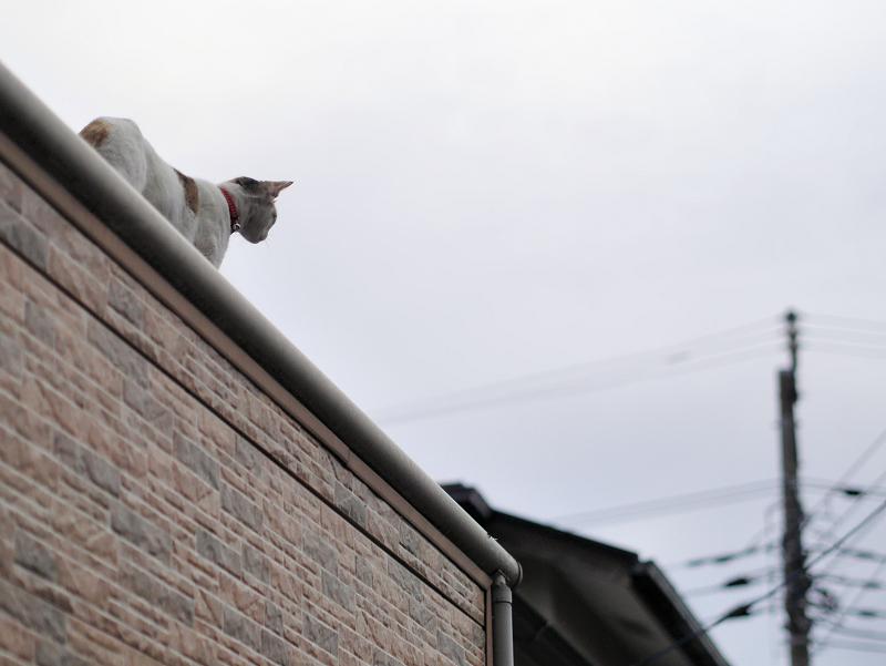 屋根の上の白三毛猫1
