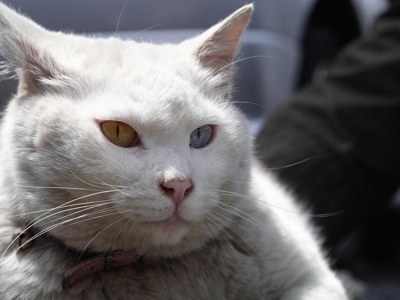 オッドアイのでかい白猫02