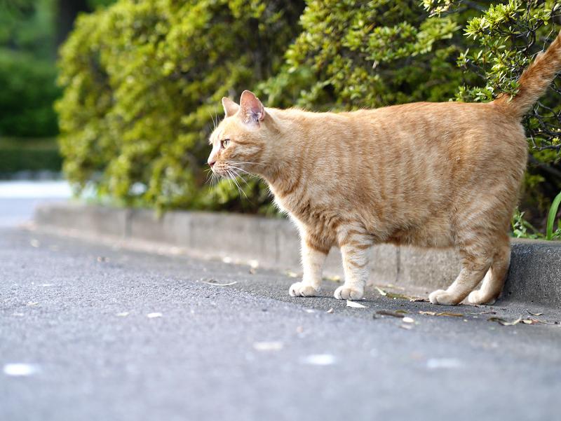 薮から出てきた茶トラ猫2