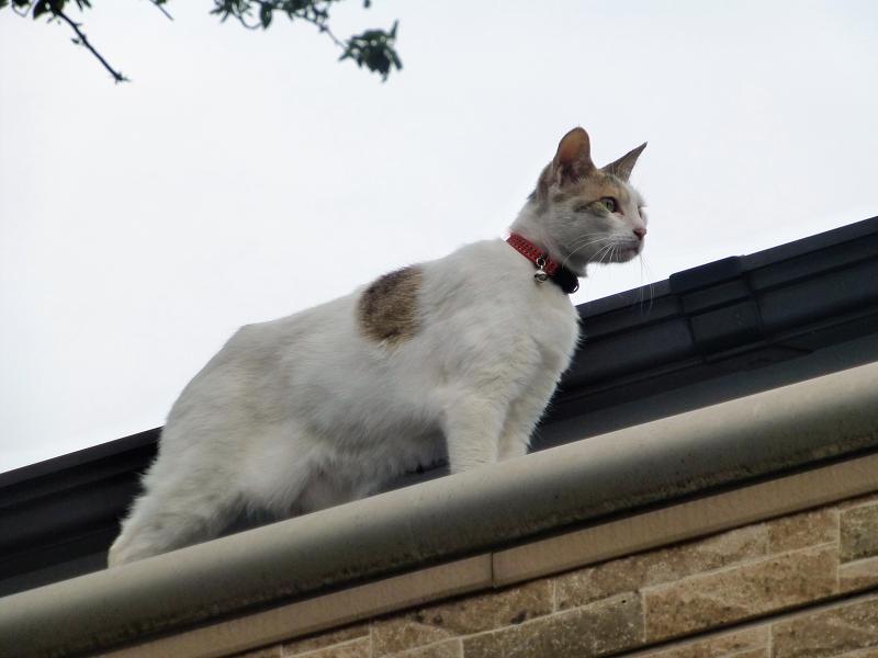 屋根の上の白三毛猫2