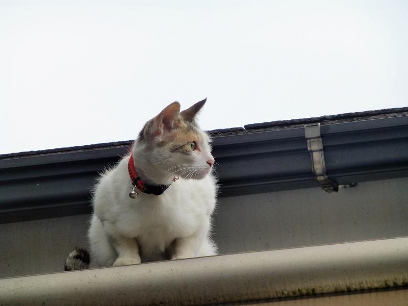 屋根の上の白三毛猫3