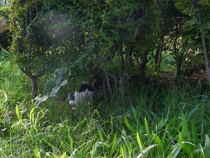 茂みの中の白黒猫1