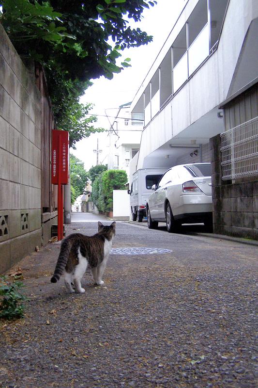 裏路地のキジ白猫たち1