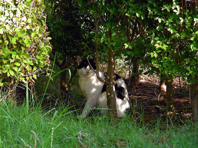 茂みの中の白黒猫2