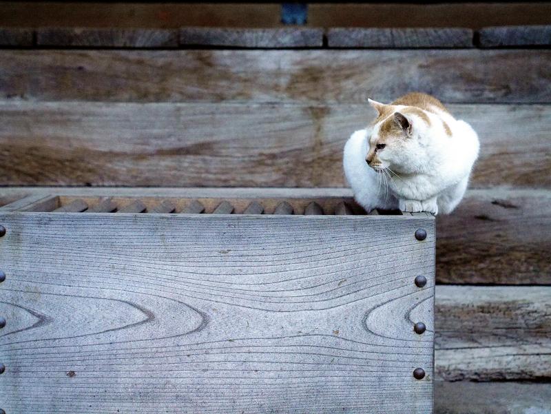 賽銭箱と白茶猫01