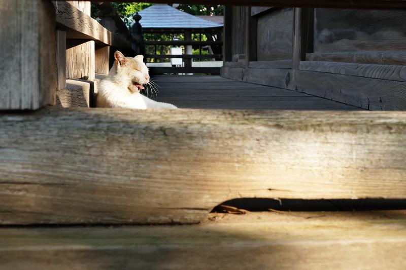 濡れ縁でのんびりあくびしている茶白猫1
