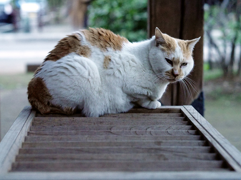 賽銭箱と白茶猫02