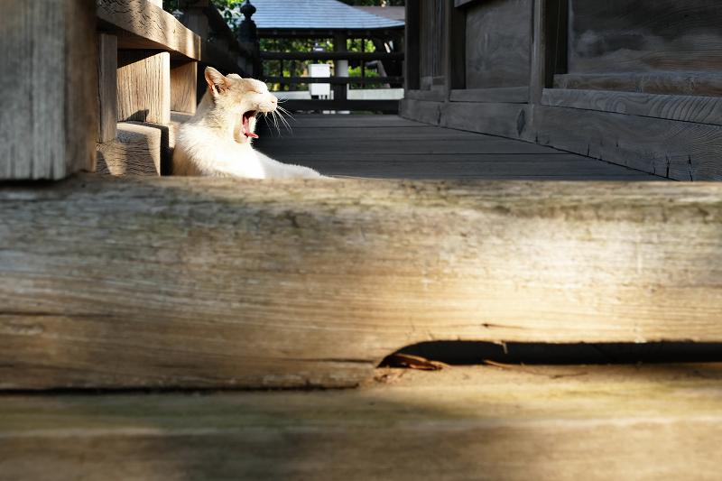 濡れ縁でのんびりあくびしている茶白猫2