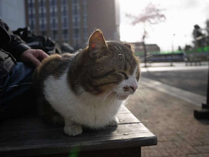 足の足を乗せたキジ白猫2