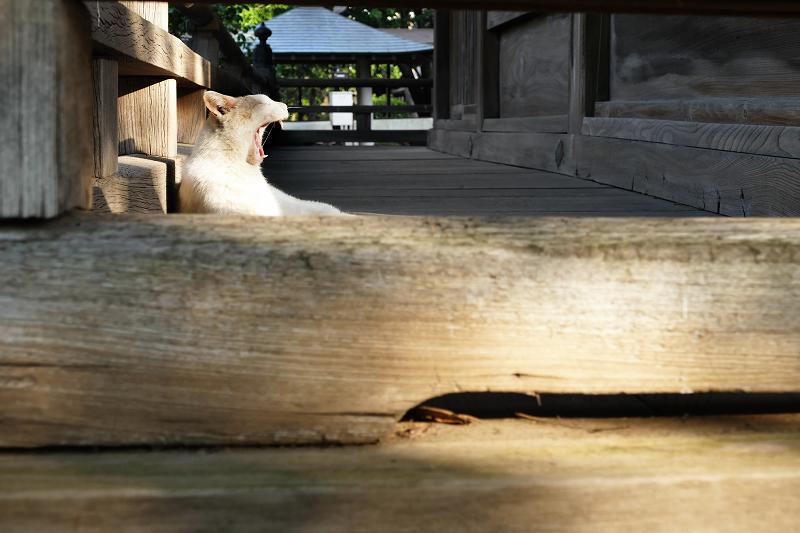 濡れ縁でのんびりあくびしている茶白猫3