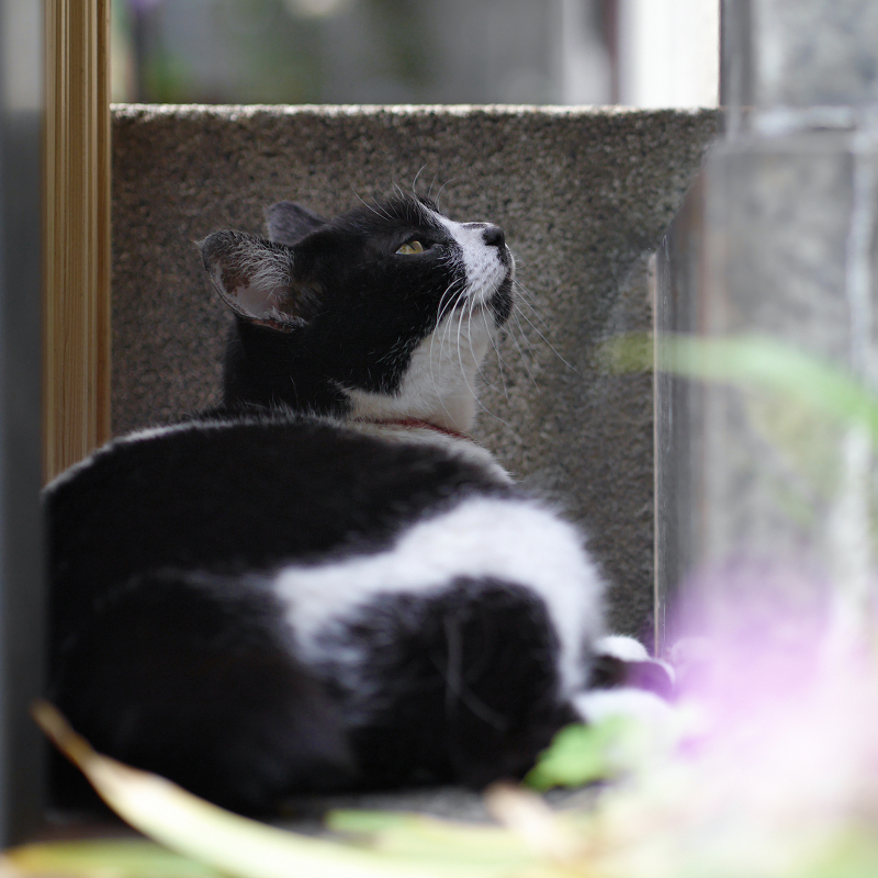 ジーっと空を見ている白黒猫