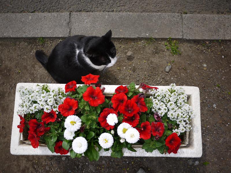プランターの横の黒白猫1