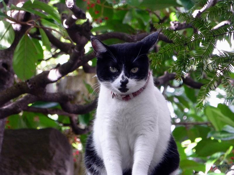 塀の上から睨む白黒猫