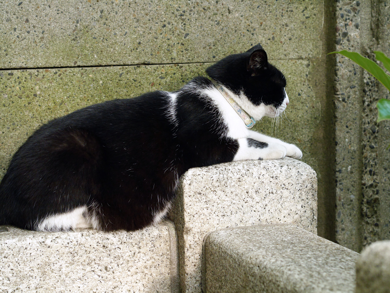 塀の下で腹ばう黒白猫