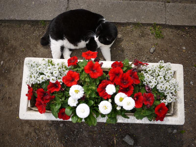 プランターの横の黒白猫2