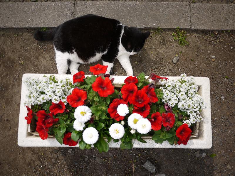 プランターの横の黒白猫3