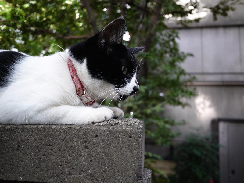塀の上で腹ばう白黒猫