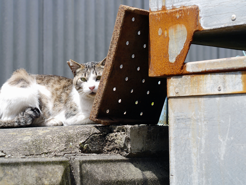 陽射しの中のキジ白猫01