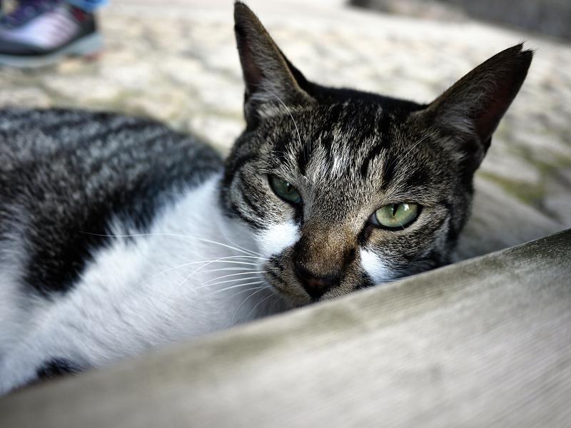 木柵から見上げるキジ白猫