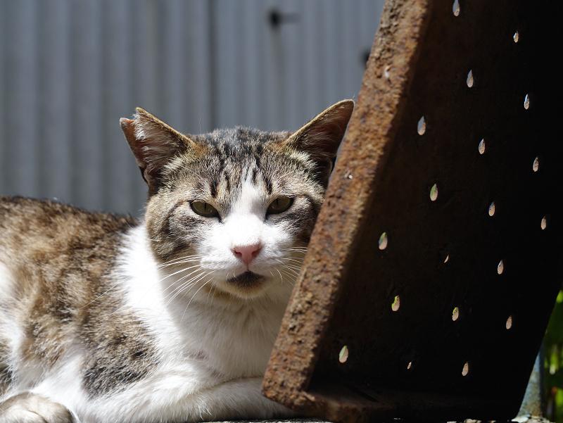 陽射しの中のキジ白猫02