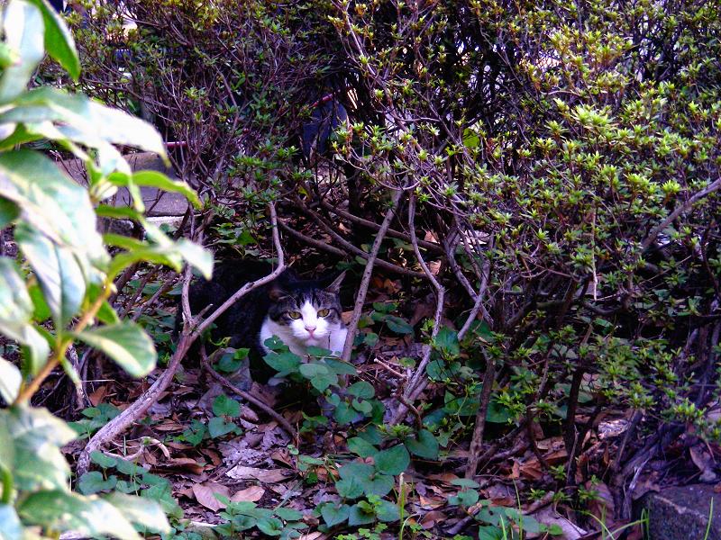 森の中のキジ白猫1