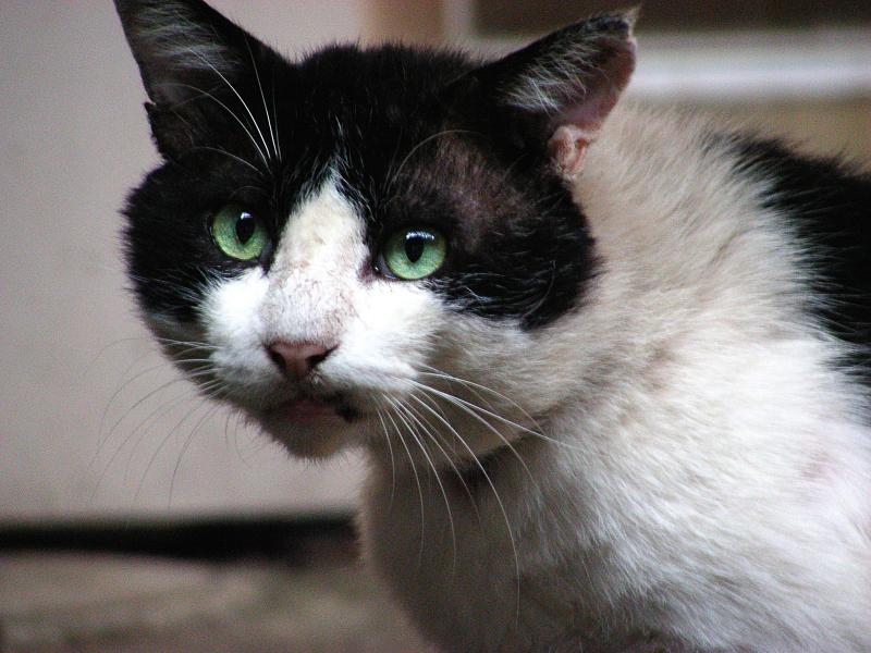 楕円形の顔の白黒猫