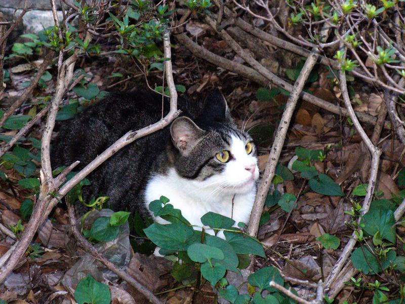 森の中のキジ白猫2