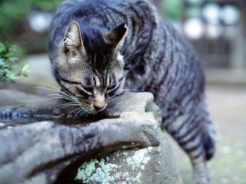 水を飲んでるキジトラ猫01