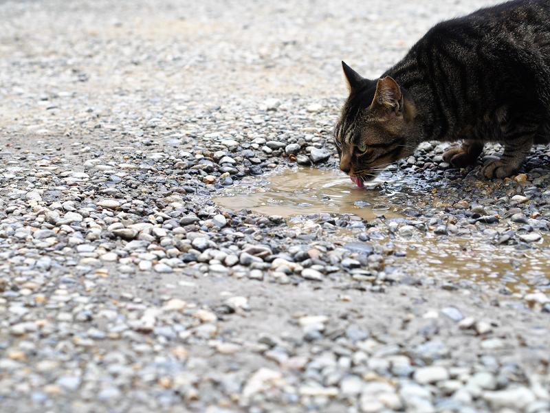 茶色の溜水を飲む茶トラ猫