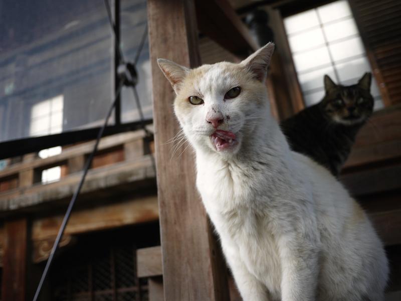 本堂の階段でベロを出す猫たち1