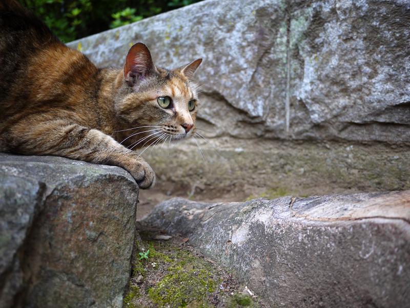 岩と切り株とサビ柄猫1
