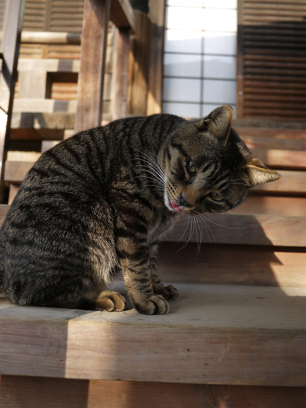 本堂の階段でベロを出す猫たち2