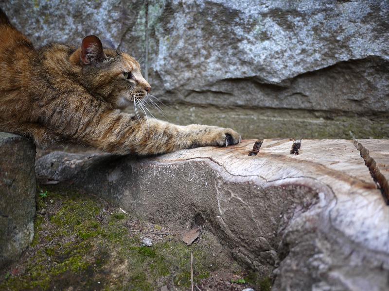 岩と切り株とサビ柄猫2