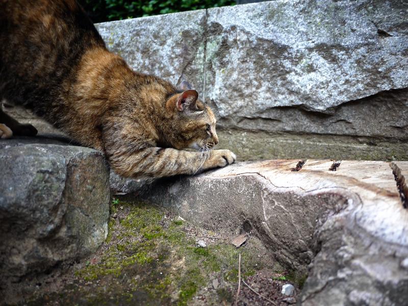 岩と切り株とサビ柄猫3
